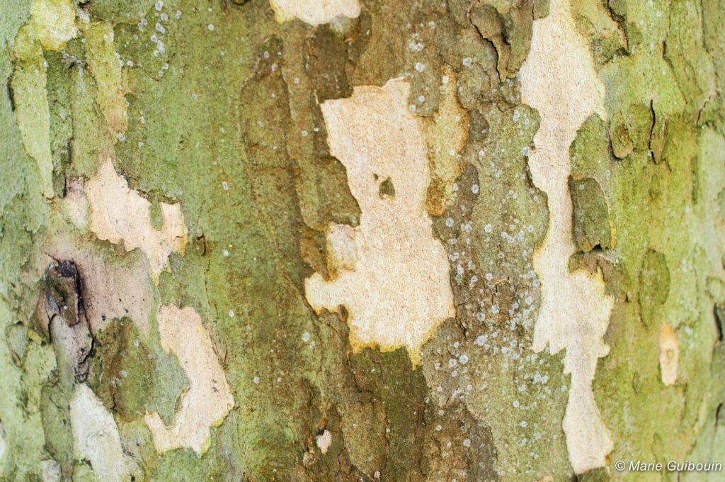 Détail écorce d'arbre