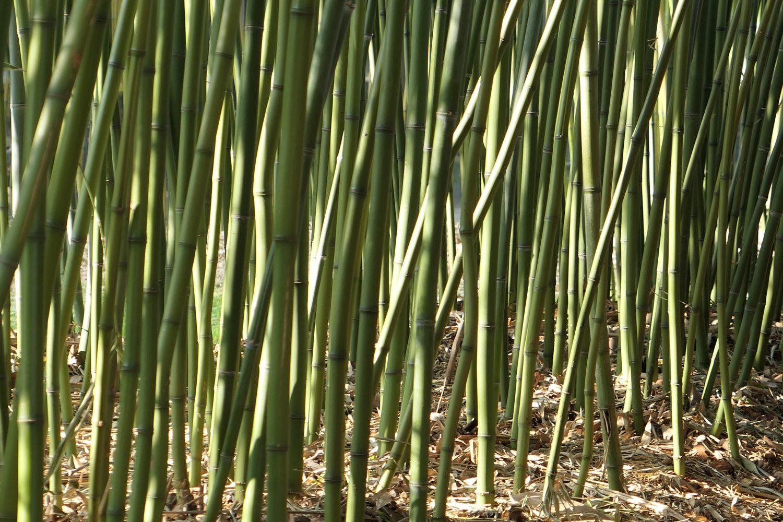 L'histoire du Bambou Chinois…